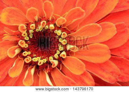 Zinnia Flower Background