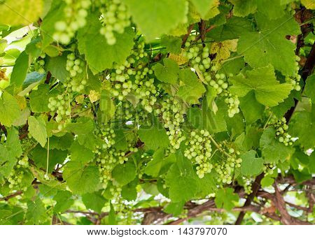 Looking up from below at ripening bunches of green grapes on a trellised leafy vine in a viticulture concept in a full frame view
