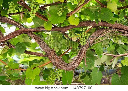 Old gnarled trellised vine with bunches of ripening green grapes hanging down viewed from below in a viticulture concept