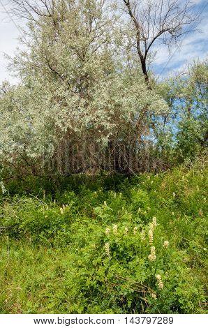 Steppe. Elaeagnus tree growing near the river. silverberry or oleaster river floodplain Ili Kazakhstan. Licorice is growing near the tree