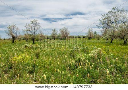 Steppe. Elaeagnus tree. silverberry or oleaster river floodplain Ili Kazakhstan. Licorice is growing near the tree. Dirt road