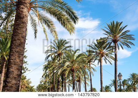 Rows Of Tropical Coconut Palms