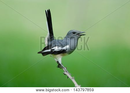 Oriental Magpie Robin. Beautiful Bird Perching On Branch As Background