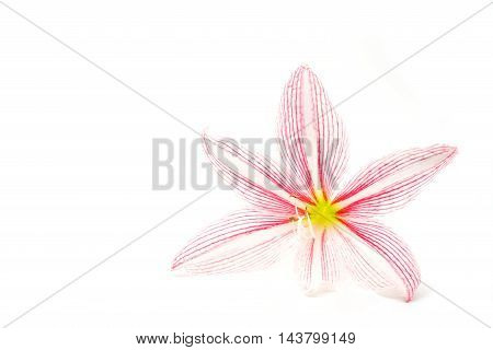 beautiful pink lilly flower on white isolate background
