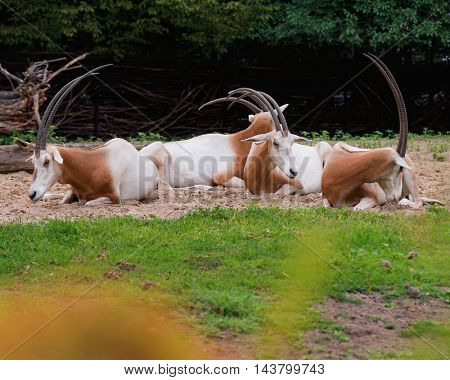 Scimitar-Horned Oryx relaxing. Magnificent Oryx eating grass.
