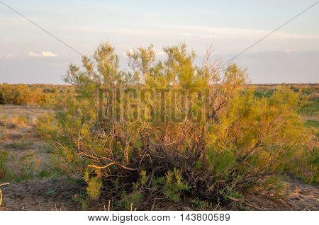 Steppe sand Kazakhstan. Spring in the desert. The delta of the Ili River