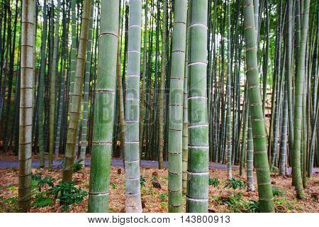 Background Image Of Big Bamboo