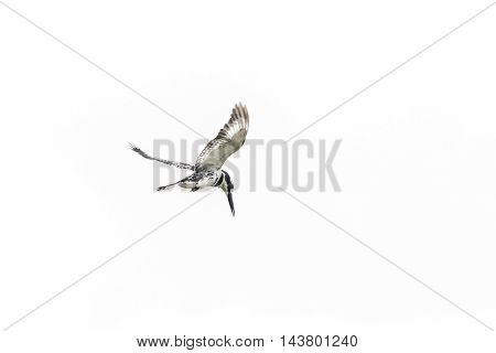 Pied Kingfisher In Mid Flight