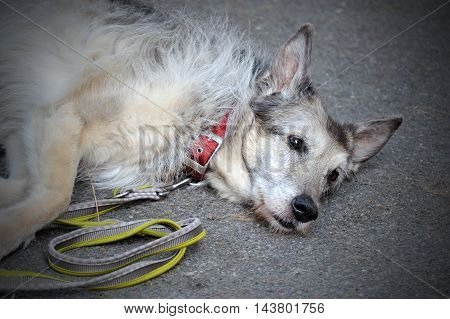 Old sad shepherd Dog tired lying on asphalt background