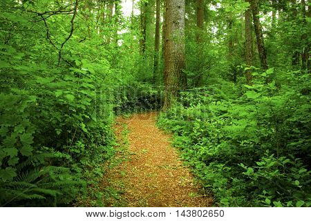 a picture of an exterior Pacific Northwest forest hiking trail in spring