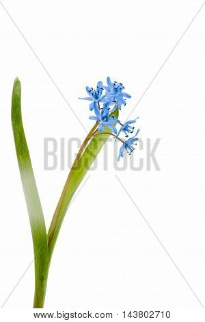 Snowdrop blue flower on a white background