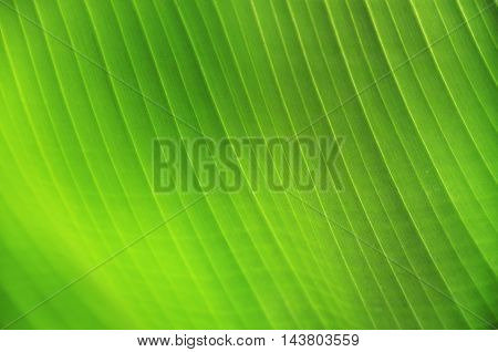 banana leaves green flora garden background spa