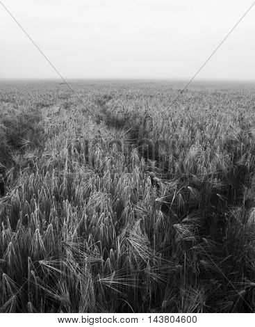 Barley field in misty summer morning in black and white