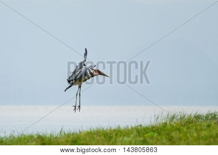Marabou Stork Suspended In Mid Air