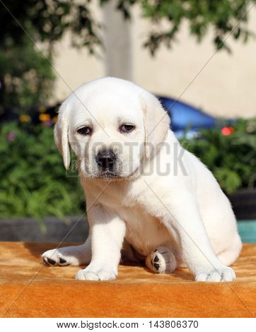 A Little Labrador Puppy On An Orange Background