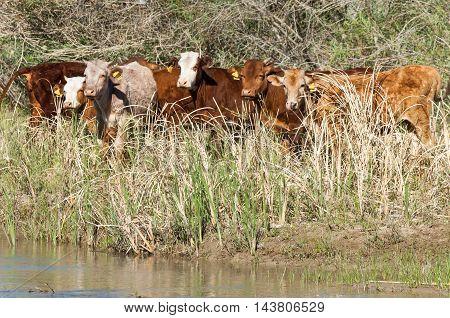 Steppe, Cows On The River, Kazakhstan Bakanas. Ili