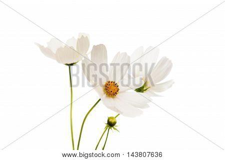beautiful daisy flower isolated on white background