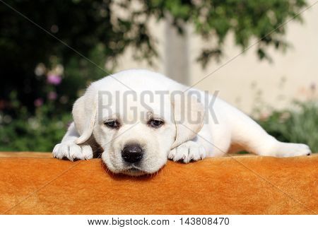 Little Labrador Puppy On An Orange Background