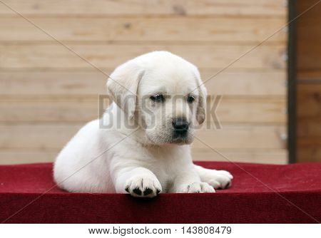Little Labrador Puppy On A Red Background