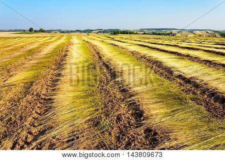 Flax field after harvest in Roztocze region Poland