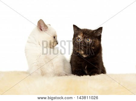 Portrait of two British Shorthair Kittens sitting, 8 weeks old, color point and black tortie color.