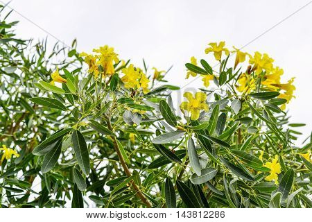 Tabebuia chrysantha Nichols Golden Tree Yellow Flower on the Tree Thailand