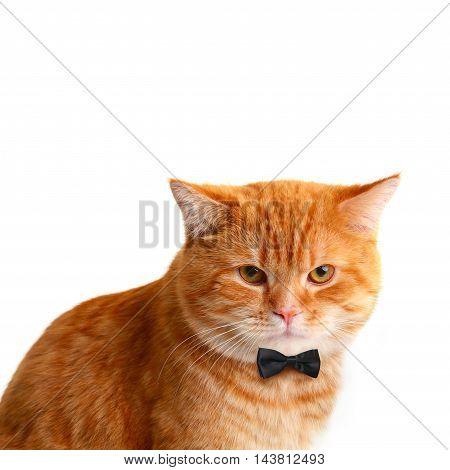 Handsome Male Cat with Black Bow Tie on White Background
