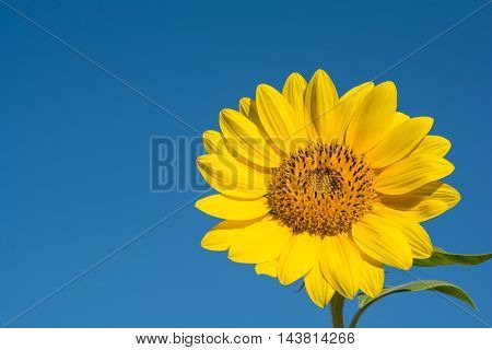 Beautiful yellow suflower isolated on blue sky
