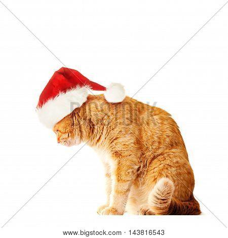 Big Orange Cat wearing Santa Hat Isolated on White Background
