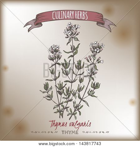 Thymus vulgaris aka Thyme vector color hand drawn sketch placed on old paper bakground. Culinary herbs collection. Great for cooking, medical, gardening design.
