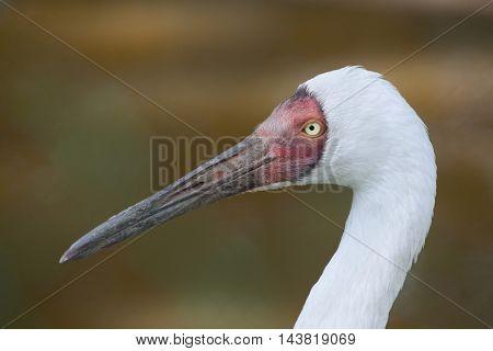 Siberian crane (Grus leucogeranus), also known as the snow crane. Wildlife animal.