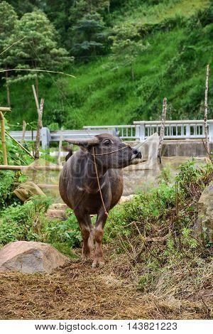 big vietnam buffalo outside nature on green rice fields background at sapa vietnam