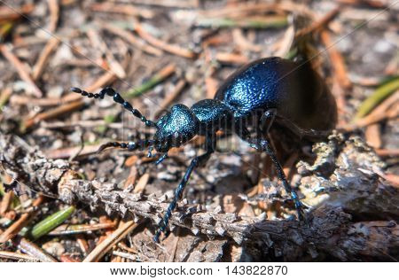 Blue scarab on the ground in forest