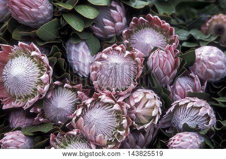 Europe Portugal Madeira Funchal Flowermarket