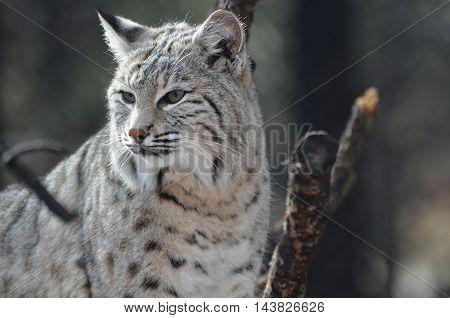 Sweet lynx gazing around at his environment
