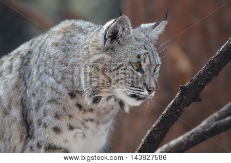 Lynx bobcat crouching and stalking potential prey.