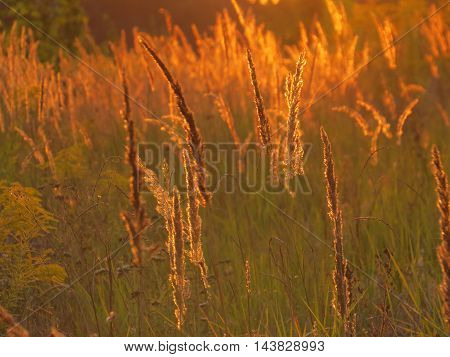 The wild flowers and grass on the background of the setting sun
