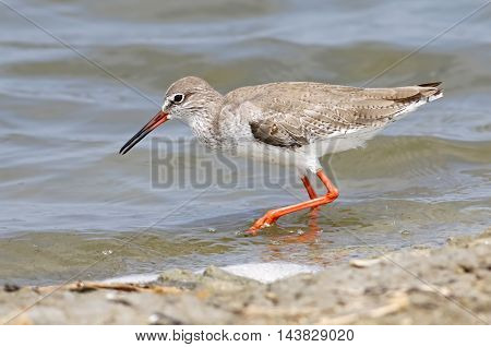 Common Redshank Tringa totanus Shorebirds of Thailand