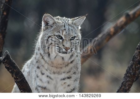 Bobcat with a disappointed expression after losing his hunt.