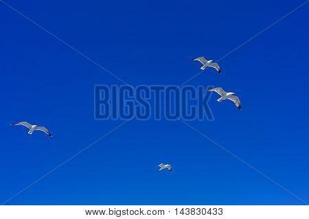 Flying Sea Gulls In Blue Sky