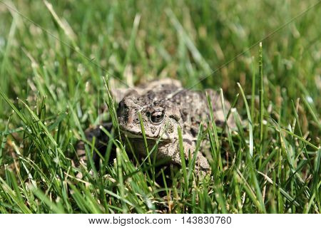 A beautiful Golden Eyed Western Toad aka Anaxyrus boreas, formerly Bufo boreas is a large toad species, native to western North America.