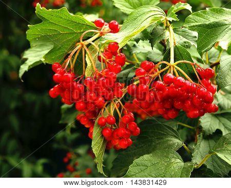 viburnum bush growing on the photo for micro-stock