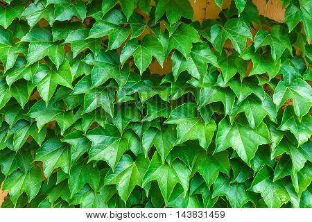 Hundreds of Grape green fresh leaves background