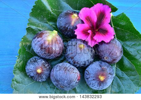 Several ripe blue figs and pink flower on big mulberry leaf over blue wooden background from above close up view
