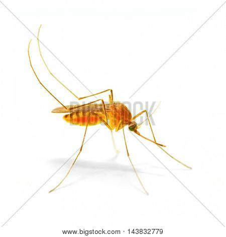 Anopheles mosquito, dangerous vehicle of zika, dengue, chikungunya, malaria and other infections.