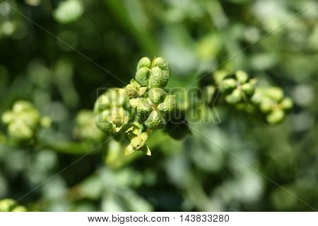 Fruit of a common rue (Ruta graveolens)