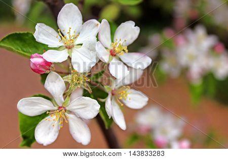 Apple blossom in the springtime in the garden