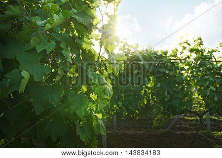 Green vineyard on plantation