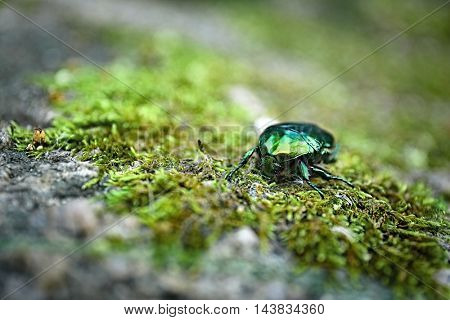 Chafer on moss, closeup