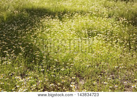 Wildflowers on meadow